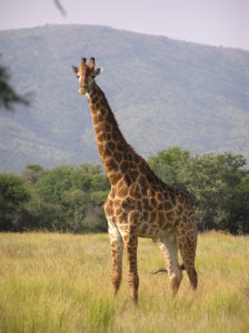 Spiritual Inspirations from Giraffes picture