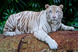 Spiritual Inspirations from Tigers (International Tiger Day) - White Bengal Tiger image