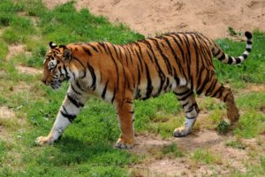 Spiritual Inspirations from Tigers (International Tiger Day) image